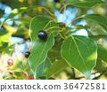 camphor, tree, botanic 36472581
