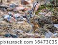 Indian hare or black-naped hare, Lepus nigricollis 36473035