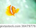 鱼 热带鱼 小丑鱼 36479776