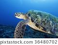 綠海龜 烏龜 海龜 36480702