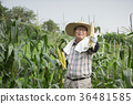 diligent farmer's life, green rice plants background 202 36481585