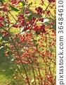 식물, 열매, 과실 36484610