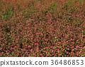 red buckwheat countryside, red soba field, red buckwheat 36486853