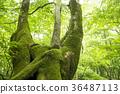 forest, tender green, verdure 36487113