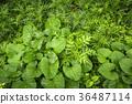 foliage, leaf, leaves 36487114