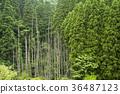 coniferous trees, coniferous tree, forest 36487123