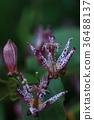 小杜鵑 花 花朵 36488137