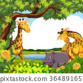Giraffes and hippo by the pond 36489165