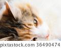 猫 猫咪 小猫 36490474