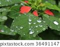 비오는 날의 여름 포인세티아 36491147