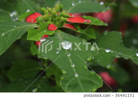 비오는 날의 여름 포인세티아 36491151