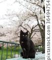 벚꽃과 고양이 36494754