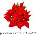 Red poinsettia Christmas flower isolated white bac 36495278