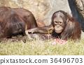 猩猩 猴子 猴 36496703