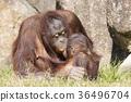 猩猩 猴子 猴 36496704