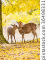 奈良公園:鹿和銀杏 36498331