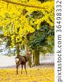 奈良公園:鹿和銀杏 36498332