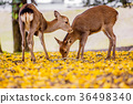 奈良公園:鹿和銀杏 36498340