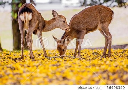 나라 공원 : 사슴과 은행 36498340