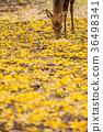 奈良公園:鹿和銀杏 36498341