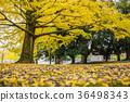 奈良公園:鹿和銀杏 36498343
