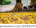奈良公園:鹿和銀杏 36498344