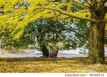 奈良公園:鹿和銀杏 36498523
