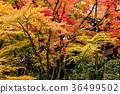 ต้นเมเปิล,เกียวโต,ฤดูใบไม้ร่วง 36499502
