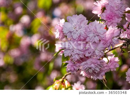 Sakura flower blossom in springtime 36503348