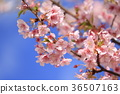 Blue sky and Kawazu cherry tree 36507163