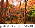 autumn, autumnal, maple 36507483