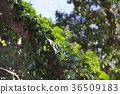 hedera rhombea, creeper, climbing plant 36509183