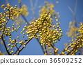 white cedar, chinaberry, fruit 36509252