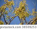 white cedar, chinaberry, fruit 36509253