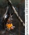 flying foxes close-up 36510650