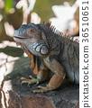 large iguana lizard 36510651
