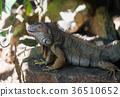 large iguana lizard 36510652
