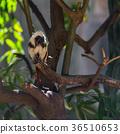 monkey tamarin sitting on a tree 36510653