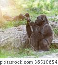 wildlife, gorilla animals 36510654