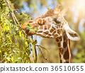 animal giraffe eats leaves, close-up portrait 36510655