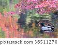 นก,เป็ด,ฤดูใบไม้ร่วง 36511270