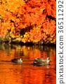 นก,เป็ด,ฤดูใบไม้ร่วง 36511292