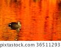 นก,เป็ด,ฤดูใบไม้ร่วง 36511293