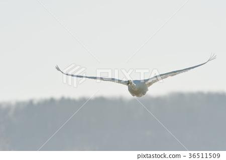 在冰(北海道)背景下飞翔的天鹅 36511509