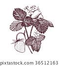 strawberry, vector, fruit 36512163