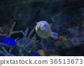 河豚 河豚魚 魚 36513673