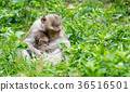 Monkey sits to feed his baby from the breast  36516501