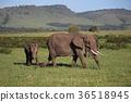 wild, animal, wildanimal 36518945