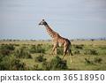 마사이마라, 동물, 사바나 36518950