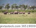 非洲大象群 36519009